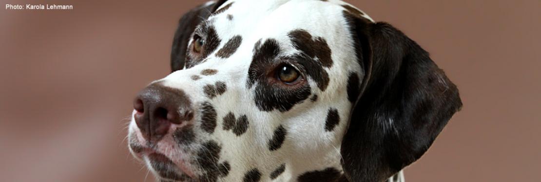 Warum ein Dalmatiner?