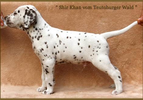 Shir Khan vom Teutoburger Wald (blaues Halsband)