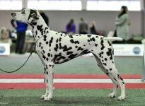 CACIB Internationale Ausstellung Brussels Trophy (BE) BEST OF BREED – Candy Cane vom Teutoburger Wald