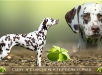 "Präsentation unserer Zuchthündin ""Caitlin"" Crispy 'n' Crunchy vom Teutoburger Wald"