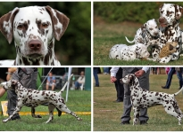 Video-Präsentation - Zuchthündin Dalmatian Dream for ORMOND vom Teutoburger Wald