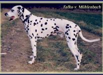 Falko vom Mühlenbach