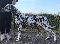 Spotdog's Golden Glory