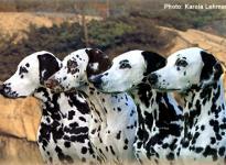 Meine ersten Dalmatiner Ondra, Uttika, Gina und Alissia
