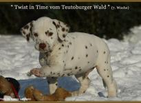 Twist in Time vom Teutoburger Wald, Rüde