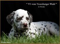 V1 vom Teutoburger Wald (5 Wochen alt)