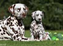 Hope's Harmony vom Teutoburger Wald mit ihrer Tante Dalmatian Dream for ORMOND vom Teutoburger Wald