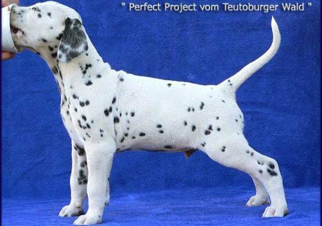 Unsere 2 kernigen weiß/schwarzen Rüden - Perfect Project vom Teutoburger Wald (Besitzer: Familie Hammans in 53940 Hellenthal)