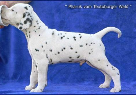 Pharuk vom Teutoburger Wald (Besitzer: Berenike Neefe in 04319 Leipzig)