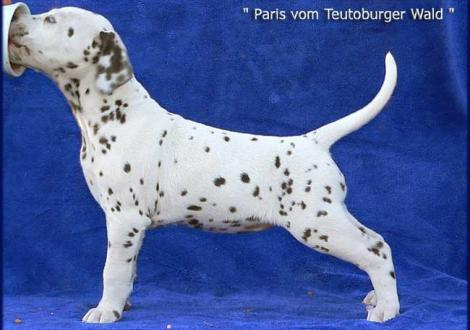 Unsere 2 knackigen weiß/braunen Mädels - Paris vom Teutoburger Wald (Besitzer: Familie Bäumer in 33689 Bielefeld)