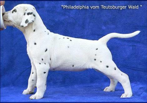 Philadelphia vom Teutoburger Wald (Besitzer: Familie Winter in 38154 Königslutter und Karola Lehmann Dalmatiner vom Teutoburger Wald)