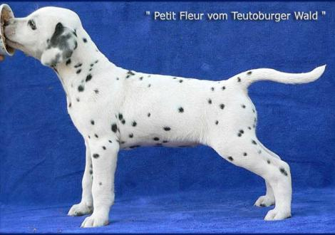 Petit Fleur vom Teutoburger Wald (Besitzer: Maja Jovicic in 10961 Berlin)