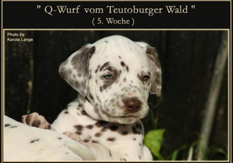 Q - Wurf vom Teutoburger Wald (5. Woche)