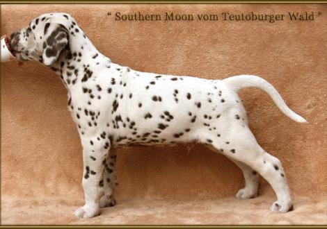 Southern Moon vom Teutoburger Wald (rotes Halsband)