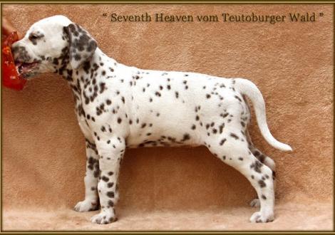 Seventh Heaven vom Teutoburger Wald (oranges Halsband)