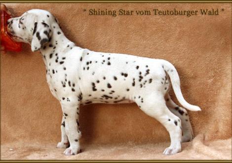 Shining Star vom Teutoburger Wald genannt June (verbleibt in der Zuchtstätte Dalmatiner vom Teutoburger Wald)
