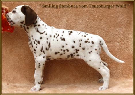Smiling Sambuca vom Teutoburger Wald genannt Sambuca (vermittelt an: Anne Berber, 13088 Berlin)