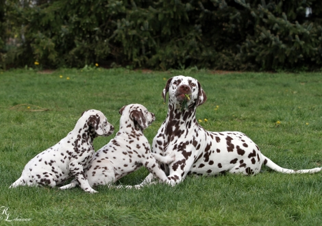 Schwester Dalmatian Dream for ORMOND vom Teutoburger Wald mit Flame of Fame & Feel Free vom Teutoburger Wald