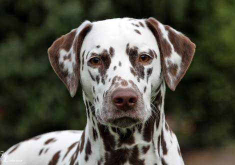 Dalmatian Dream for ORMOND vom Teutoburger Wald (18 Monate)