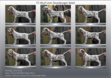 FF-Wurf vom Teutoburger Wald (7 Wochen alt)
