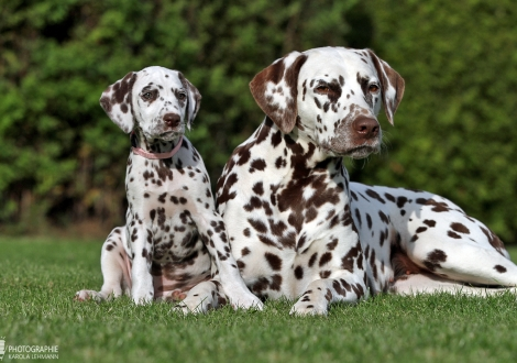 Honey Hills vom Teutoburger Wald mit ihrer Tante Dalmatian Dream for ORMOND vom Teutoburger Wald