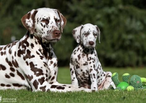 Hope's Harmony vom Teutoburger Wald mit ihrer Tante Dalmatian Dream for ORMOND vom Teutoburger Wald