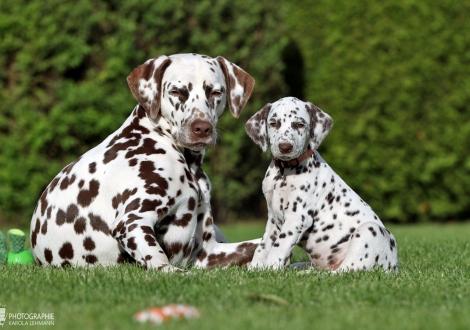 Heal my Heart vom Teutoburger Wald mit ihrer Tante Dalmatian Dream for ORMOND vom Teutoburger Wald