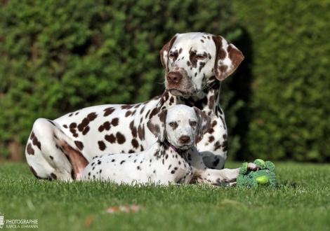 Healing Hands vom Teutoburger Wald mit ihrer Tante Dalmatian Dream for ORMOND vom Teutoburger Wald