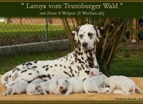 Latoya vom Teutoburger Wald mit ihren 8 Welpen (2 Wochen alt)