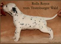 Rolls Royce vom Teutoburger Wald - vermittelt an Familie Nickel in 37269 Eschwege, Deutschland -