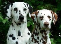 Die stolzen Eltern des O-Wurfes: Lacrima Christi Cro A Porter & Latoya vom Teutoburger Wald (- alle 5 Welpen des O-Wurfes sind beidseitig hörend)